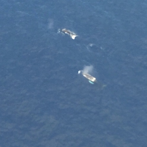Two whales we saw from the helicopter